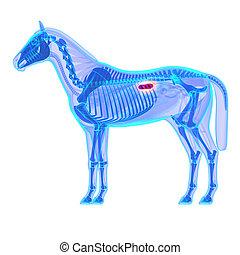 Horse Kidneys - Horse Equus Anatomy - isolated on white