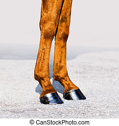 Horse legs with hooves. Skin of chestnut horse.