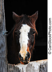 Horse looking through stall