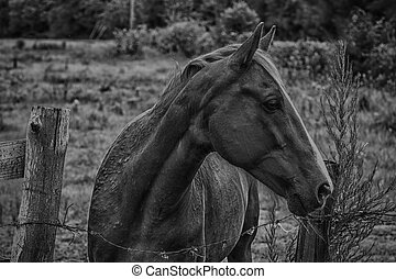 Horse looking to the right BW