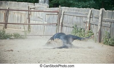 Horse lying in the paddock, slow motion
