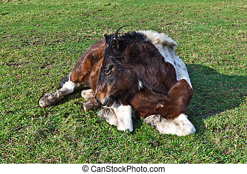 Horse lying on a meadow