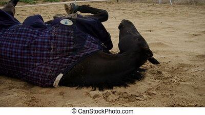 Horse lying on ranch and getting up 4k - Black horse lying...