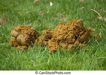 Horse manure - Fresh horse manure in green grass with flies...