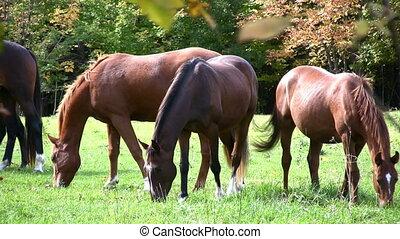 Horse Meadow - Herd Of Recreational Riding Horses Grazing In...