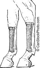 Horse Metacarpus and Metatarsus Bones, vintage engraving -...