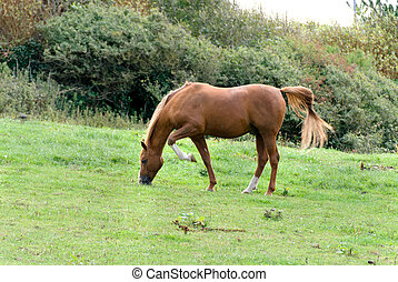 horse on a meadow in Tintagel in Cornwall