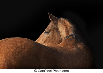 horse on black - hlusitano stallion on a dark background