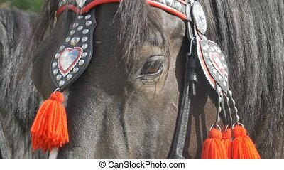 Horse Parade Harness - Portrait shot of a black horse with...