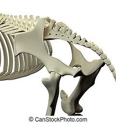 Horse Pelvis - Horse Equus Anatomy - isolated on white