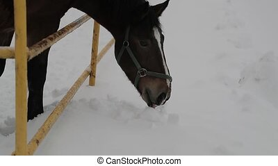 horse picks its muzzle in the snow. Slow motion video.