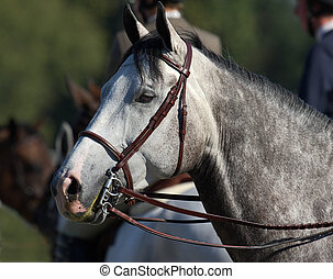 headshot of beautiful dapple grey horse