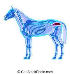 Horse Rectum - Horse Equus Anatomy - isolated on white