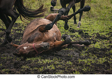 Horse rolling in the mud in an open grass field
