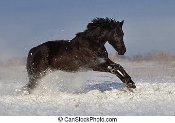 Horse run in winter field