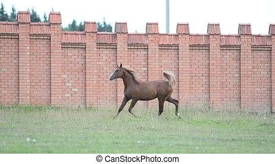 horse running - Chestnut stallion running in paddock