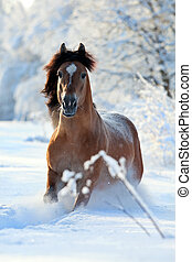 Horse runs in winter background. - Belarus horse gallops...