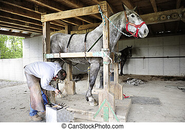 Horse Shoeing - Full length image of a gray workhorse...