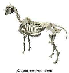 Horse Skeleton Back View - Horse Equus Anatomy - isolated on white