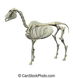 Horse Skeleton - Horse Equus Anatomy - side view isolated on white