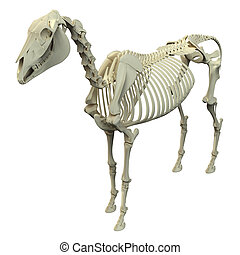 Horse Skeleton - Horse Equus Anatomy - isolated on white