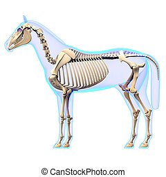 Horse Skeleton Side View - Horse Equus Anatomy - isolated on...