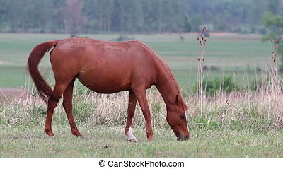 Horse - Young horse grazing in the pasture