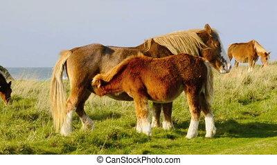 Horse suckling - Baby horse suckling at the coast of...