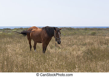 Horse tied with a chain grazes on the shore of the Black Sea
