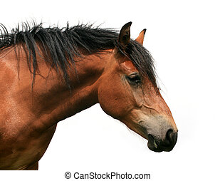 horse torso isolated on white background