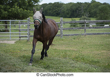 Horse Trotting in Paddock - Black Horse Trotting in Fenced...