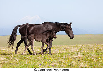 Horse with a foal go on a mountain pasture