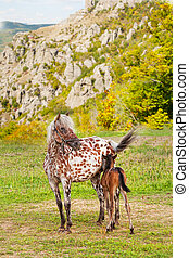 Horse with a foal on a mountain pasture