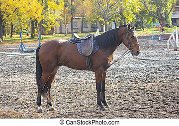 Horse with a saddle on the racetrack during training. Animals