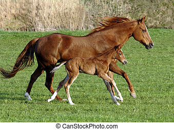 quarter horse mare with foal in perfect synchronal gallop