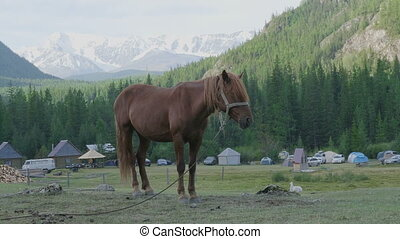Horse with foals grazing in a pasture in the Altai...