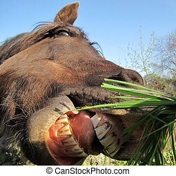 Horse with huge open mouth showing its teeth - A horse with...