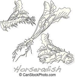 Horseradish illustration on white background.