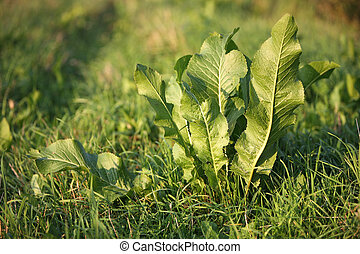 Horseradish leaves on a bed