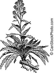 Old engraved illustration of Horseradish or Armoracia rusticana or Cochlearia armoracia isolated on a white background. Dictionary of words and things - Larive and Fleury ? 1895