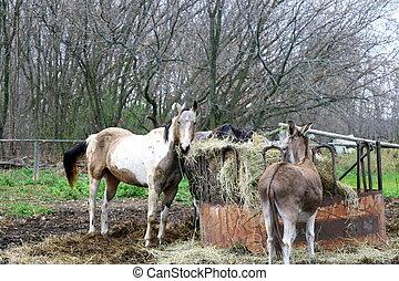 Horses  and a donkey eating hay