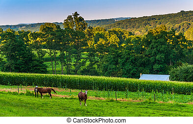 Horses and cornfield on a farm in rural York County, Pennsylvania.