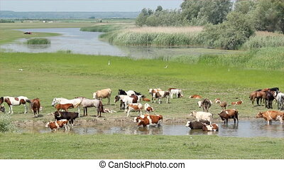 horses and cows on river