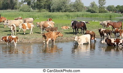 horses and cows on watering-place