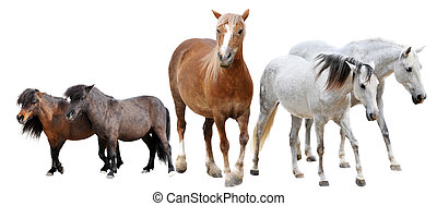 horses and ponies - horses and two ponies in front of white ...