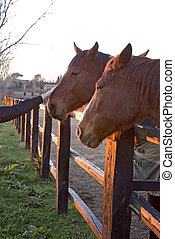 horses behind a fence in the light of the sunset