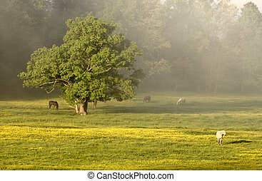 Horses - Cades Cove - Horses graze peacefully amongst the...