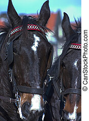 Horses close-up - Close-up of harnessed horses.