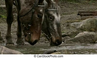 horses drink from alpine stream.