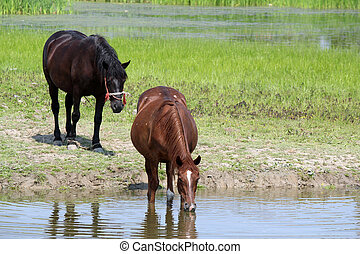 horses drink water in a pond
